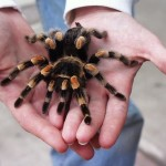 tarantula the big spider , 7 Tarantula Spider Images In Spider Category
