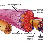 tension muscle , 5 Skeletal Muscle Tonus In Muscles Category