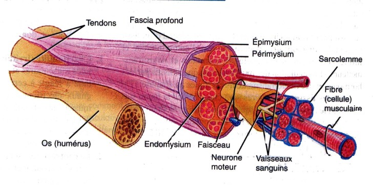Muscles , 5 Skeletal Muscle Tonus : Tension Muscle