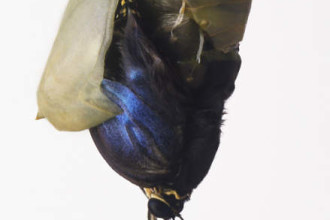 the Blue Morpho Butterflies pupa in Spider