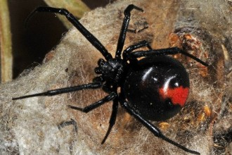 The Redback Spider , 7 Redback Spider Photo In Spider Category