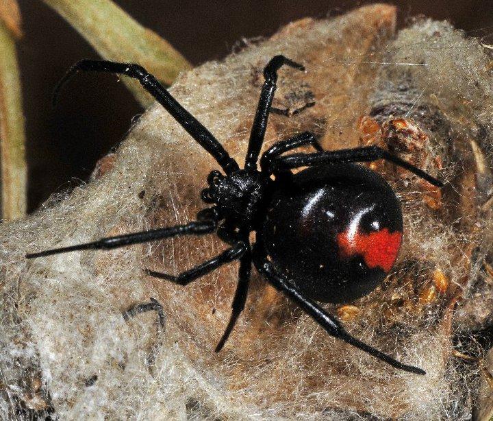 Spider , 7 Redback Spider Photo : The Redback Spider