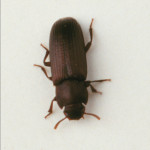 the carpet beetles , 5 Carpet Beetle Facts In Beetles Category