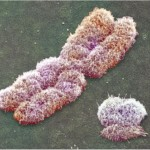 the chromosomes cell , 5 Animal Cell Chromosomes Images In Cell Category