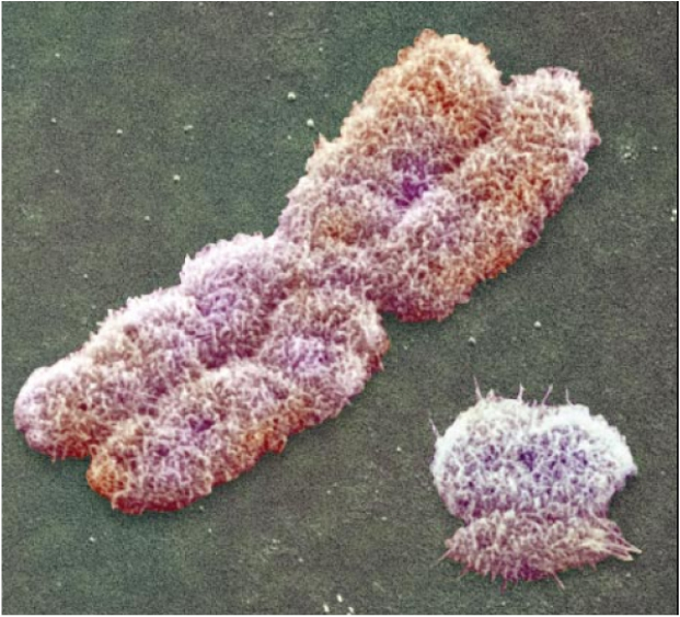 Cell , 5 Animal Cell Chromosomes Images : The Chromosomes Cell