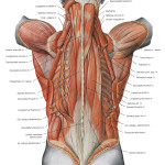 the deeper muscles of the back , 7 Deep Muscles Of Back Anatomy In Muscles Category