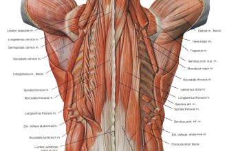 the deeper muscles of the back in Butterfly