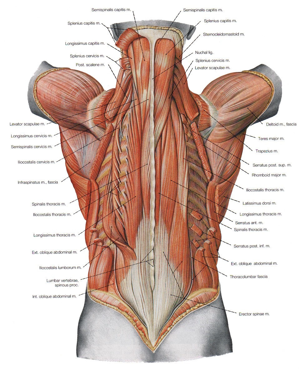 The Deeper Muscles Of The Back : 7 Deep Muscles Of Back Anatomy ...