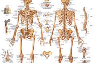 the human skeleton in Butterfly