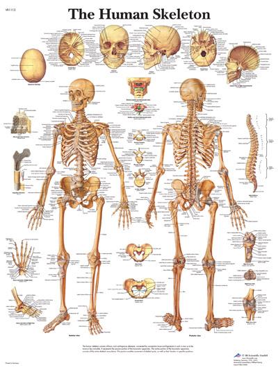 Skeleton , 6 Human Anatomy Skeleton Pictures : The Human Skeleton