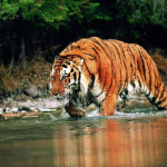 the indian subcontinent tigers , 6 Pictures Of Tiger Rainforest In Mammalia Category