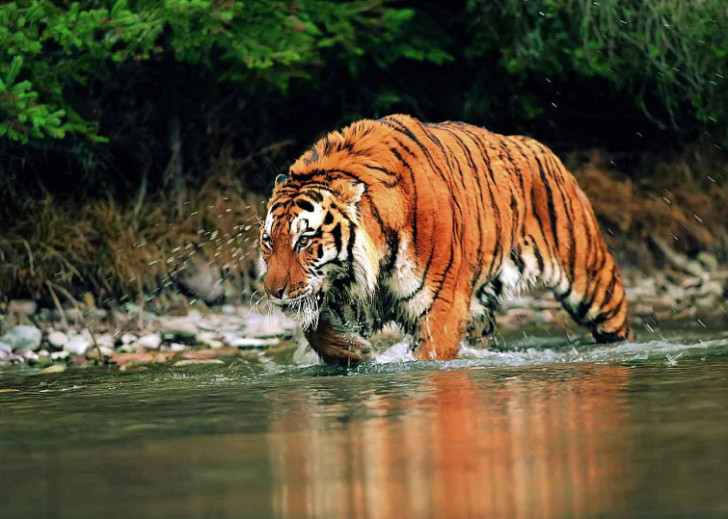 Mammalia , 6 Pictures Of Tiger Rainforest : The Indian Subcontinent Tigers