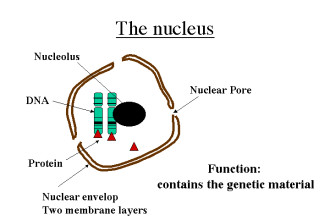 The Nucleus , 5 Animal Cell Nucleus Pictures In Cell Category