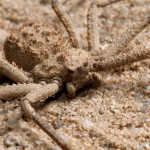 the poisonous Six Eyed Sand Spider , 6 Six Eyed Sand Spider Photos In Spider Category