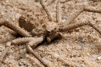 The Poisonous Six Eyed Sand Spider , 6 Six-Eyed Sand Spider Photos In Spider Category