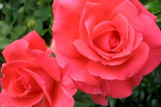 The Queen Of Hybrid Tea Modern Roses , 7 Modern Hybrid Tea Roses Photos In Plants Category
