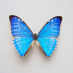 the real collection of blue morpho butterfly , 7 Blue Morpho Butterfly Specimen In Butterfly Category