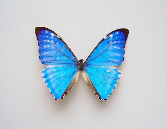Butterfly , 7 Blue Morpho Butterfly Specimen : The Real Collection Of Blue Morpho Butterfly
