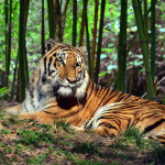 tiger rainforest , 6 Pictures Of Tiger Rainforest In Mammalia Category