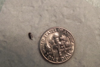 Tiny Bugs In Bathroom , 6 Small Black Beetle Like Bug In Beetles Category