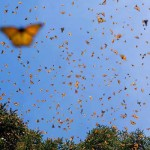 to where do monarch butterflies migrate , 6 Photos Of Monarch Butterfly Flying In Butterfly Category