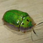 tortoise beetle , 7 Green Beetle Bug In Beetles Category