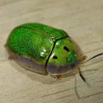 tortoise beetle , 7 Green Beetle Bug In Beetles Category