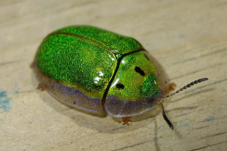 tortoise beetle in Forest