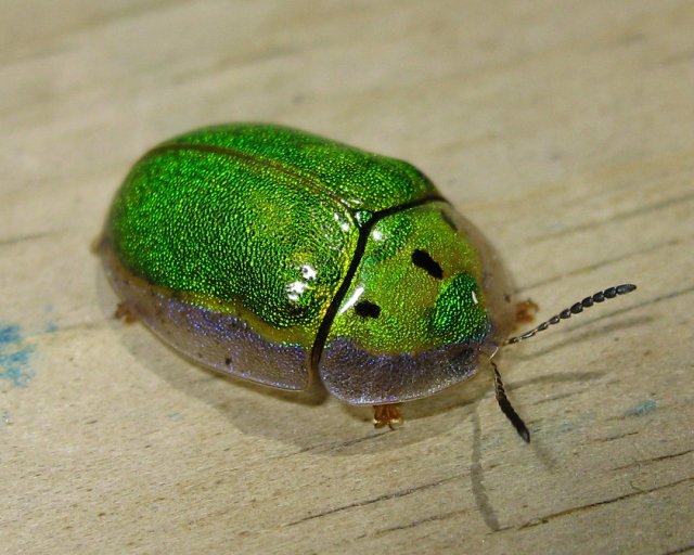 Beetles , 7 Green Beetle Bug : Tortoise Beetle