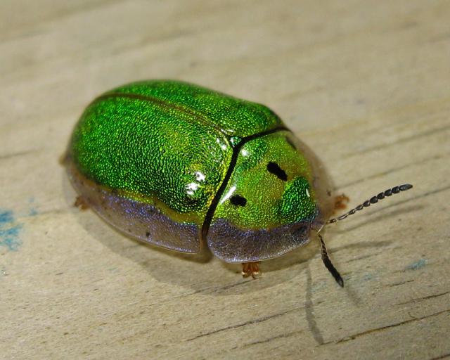 Beetles , 7 Green Beetle Bug : Tortoise Beetle