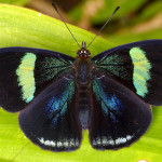uppersidewings of Eighty Eight Butterfly , 7 Pictures Of Eighty Eight Butterfly In Butterfly Category