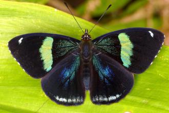 Uppersidewings Of Eighty Eight Butterfly , 7 Pictures Of Eighty Eight Butterfly In Butterfly Category