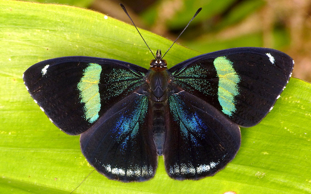 Butterfly , 7 Pictures Of Eighty Eight Butterfly : Uppersidewings Of Eighty Eight Butterfly