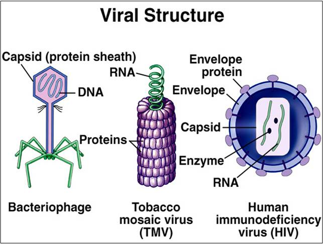 Microbes , 5 Viruses Dna Structure : Viral Sturucture