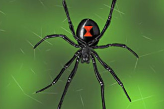 Western Black Widow Spider , 5 Black Widow Spider Fact In Spider Category