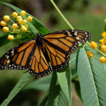 what does monarch butterfly eat , 7 What Does Monarch Butterfly Eat In Butterfly Category