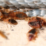 what kills bed bugs , 6 Bed Bug Mattress In Bug Category