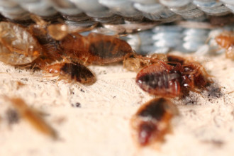 what kills bed bugs in Primates