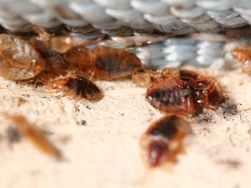 Bug , 6 Bed Bug Mattress : What Kills Bed Bugs