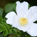 white Wild Rose , 6 Wild Roses Plant In Plants Category