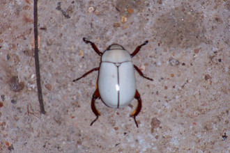 white beetle in Spider