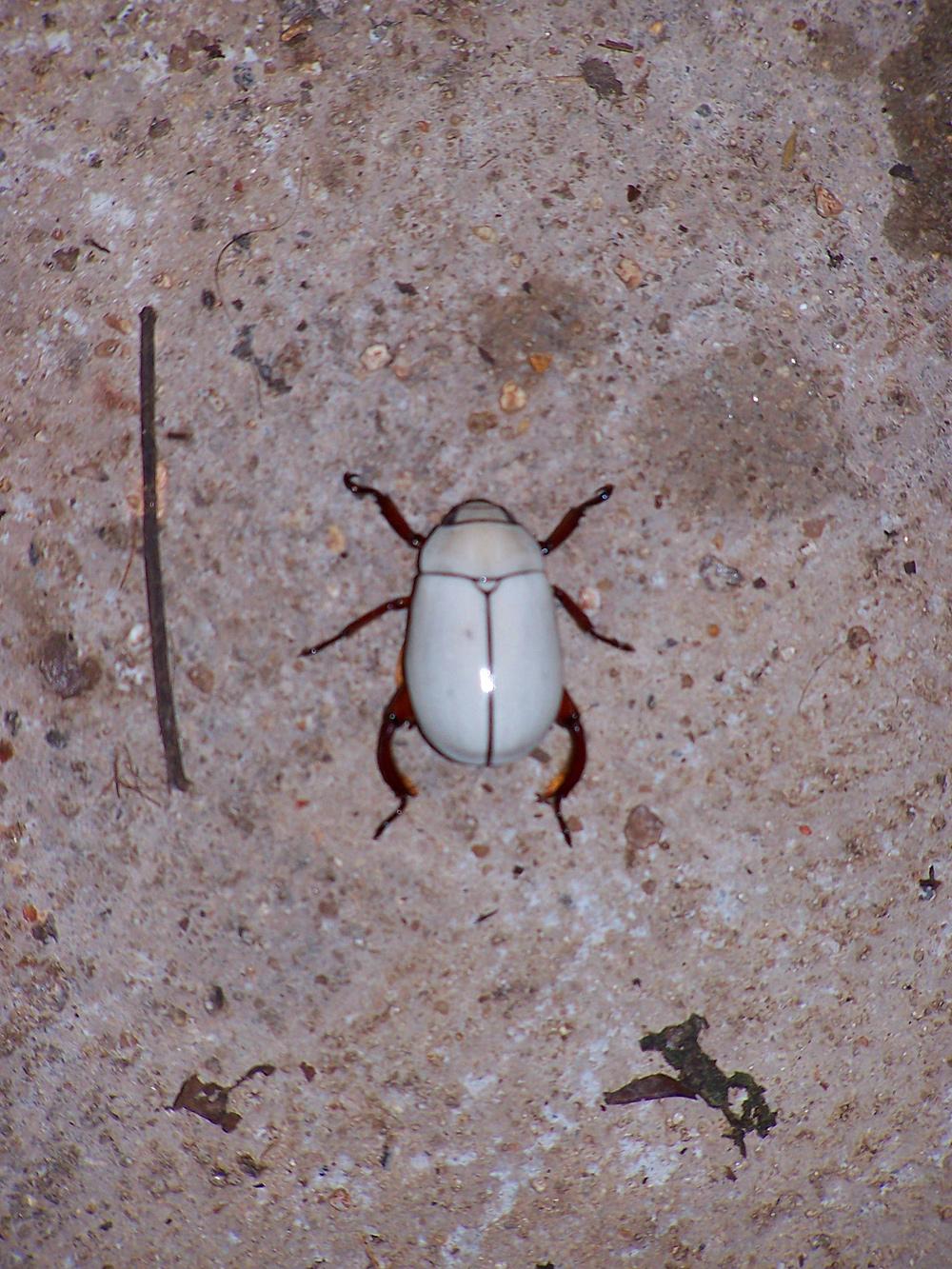 white beetle