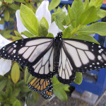 white monarch butterfly , 6 White Monarch Butterfly In Butterfly Category