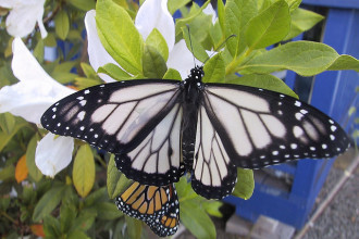 white monarch butterfly in Dog
