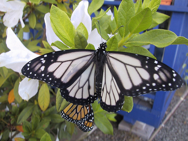 Butterfly , 6 White Monarch Butterfly : White Monarch Butterfly