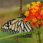 white monarchs , 6 White Monarch Butterfly In Butterfly Category