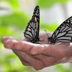 white morph monarch butterfly , 6 White Monarch Butterfly In Butterfly Category