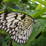 white wings monarch butterfly , 6 White Monarch Butterfly In Butterfly Category