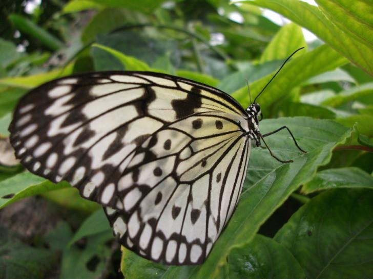 Butterfly , 6 White Monarch Butterfly : White Wings Monarch Butterfly