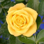 yellow Modern Roses , 7 Modern Roses Names In Plants Category
